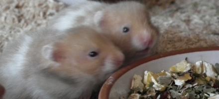 Hamsterbabys abzugeben